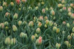 Зацветая поле тысяч тюльпанов тюльпанов Стоковая Фотография