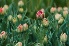 Зацветая поле тысяч тюльпанов тюльпанов Стоковое Изображение RF