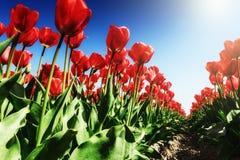 Зацветая поле тюльпанов на солнечном весеннем дне Стоковые Фотографии RF