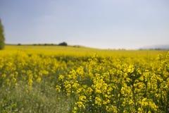 Зацветая поля рапса Стоковые Фото