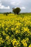 Зацветая поля рапса Стоковая Фотография RF
