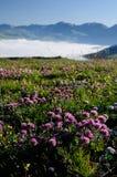Зацветая поля Castelluccio di Norcia стоковые фотографии rf