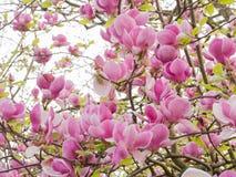 Зацветая предпосылка дерева магнолии стоковое изображение rf