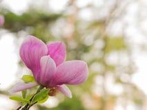 Зацветая предпосылка дерева магнолии стоковое фото