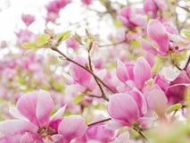 Зацветая предпосылка дерева магнолии стоковые изображения rf