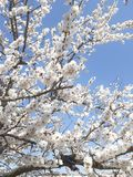 Зацветая предпосылка миндального дерева стоковые изображения rf