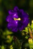 Зацветая пурпур Стоковая Фотография RF