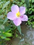 Зацветая пурпур Стоковые Изображения RF