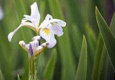 Зацветая радужка Луизианы стоковое изображение rf