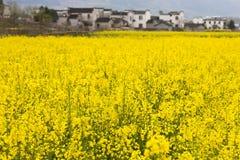 зацветая рапс oilseed Стоковая Фотография