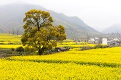 зацветая рапс oilseed Стоковые Фотографии RF