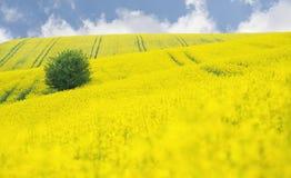 Зацветая поле рапса Oilseed с деревом Стоковые Изображения