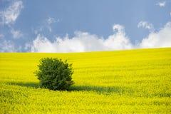 Зацветая поле рапса oilseed с деревом Стоковая Фотография