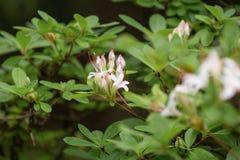 Зацветая рододендрон Дизайн ландшафта и садовничая цветене в саде лета стоковая фотография