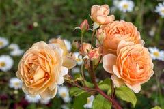 Зацветая роза желтого цвета в саде на солнечный день Стоковая Фотография RF