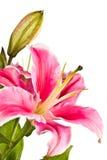 Зацветая розовая лилия с бутоном Стоковые Фотографии RF