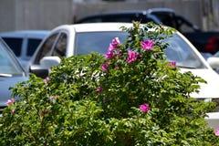 Зацветая розовое бедро на улицах города Стоковое фото RF