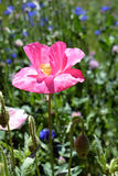 Зацветая розовое растущее цветка мака в поле цветков Стоковые Фотографии RF