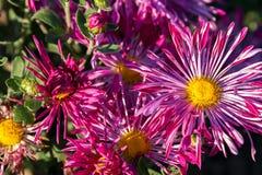 Зацветая розовые астры Стоковое Фото