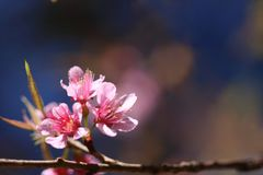 Зацветая розовые слива cerasoides цветет на синем и запачкает розовую предпосылку цветков на Khao Kho, Phetchabun, Таиланде Стоковое Фото