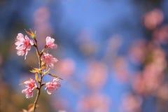 Зацветая розовые слива cerasoides цветет на синем и запачкает розовую предпосылку цветков на Khao Kho, Phetchabun, Таиланде Стоковое Изображение RF