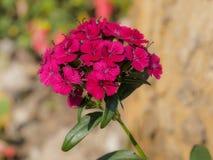 Зацветая розовые цветки в саде Стоковые Изображения