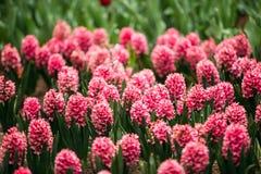 Зацветая розовые цветки сада гиацинта весной Стоковое Изображение