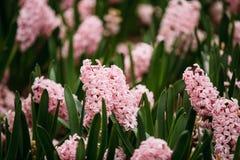 Зацветая розовые цветки сада гиацинта весной Стоковое Изображение RF