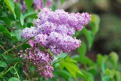 Зацветая розовые цветки сирени - флористическая предпосылка Стоковая Фотография