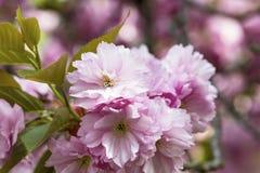 Зацветая розовые японские вишня или Сакура цветут в Европе Стоковое Фото