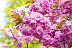 Зацветая розовые японские вишня или Сакура цветут в Европе Стоковая Фотография