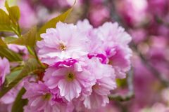 Зацветая розовые японские вишня или Сакура цветут в Европе Стоковые Изображения