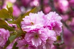 Зацветая розовые японские вишня или Сакура цветут в Европе Стоковые Фото