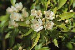 Зацветая розовые normalis banksiae Стоковое Фото