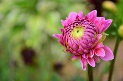 Зацветая розовый георгин Стоковая Фотография RF