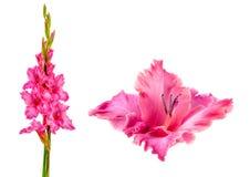Зацветая розовый гладиолус стоковое изображение rf