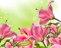 Зацветая розовый цветок лилии Стоковая Фотография