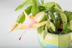 Зацветая розовый schlumbergera кактуса рождества в баке на белой предпосылке Стоковое Фото