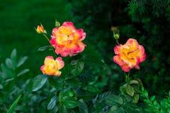 Зацветая розы Востока Пуллмана срочные в саде Стоковая Фотография
