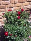 Зацветая розы в саде Стоковая Фотография