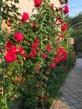 Зацветая розы в саде Стоковое Фото