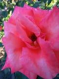 Зацветая розы в саде Стоковая Фотография RF
