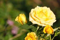 зацветая розы Стоковая Фотография RF