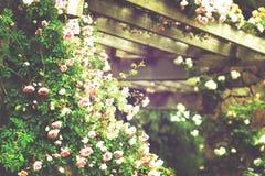 зацветая розы Стоковое Фото