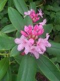 зацветая рододендрон Стоковое Изображение