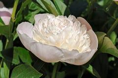 Зацветая румяный цветок пиона Стоковые Изображения RF