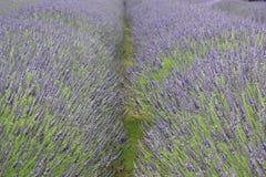 Зацветая сад лаванды Стоковые Фото
