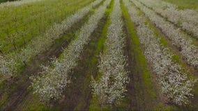 Зацветая сад Яблока с трутнем сток-видео