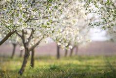 Зацветая сад вишни Стоковое Фото