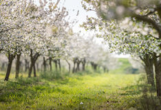 Зацветая сад вишни Стоковые Фото